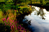 """West Brookfield"", brook, ""invasive species"", ""purple loosestrife"""