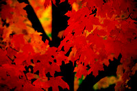 "Gardner, Massachusetts, autumn, ""fall color"", foliage, leaves, maple, tree"