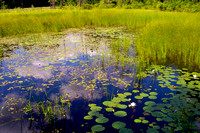 Quabbin, grasses, waterlilies, pond, water, reflections
