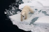 "Svalbard, ""polar bear"", ""sea ice"", Arctic"