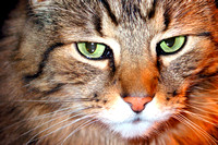 cat, closeup, feline, tabby