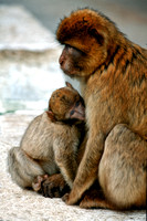 "Gibraltar, Spain, ape, baby, ""Barbary Ape"", Gibraltar, ""Barbary macaque"", baby, monkey, ""mother and baby"""
