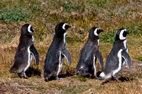 Chile, Magellanic, penguins