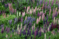 "Flowers, ""Nova Scotia"", lupines"