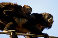 """Costa Rica"", baby, howler, ""mother and baby"", monkey"