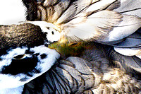 closeup, duck, feathers, preening