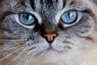 "Mallo, ""blue eyes"", cat, feline, portrait"