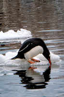 Antarctica, Gentoo, ice, penguin, sipping, water