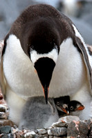 "Antarctica, chicks, nest, penguin, twins, ""mother and baby"""