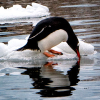 Sipping Gentoo Squared